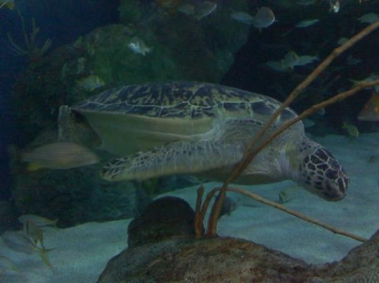 Ripley's Aquarium: SEA TURTLE!!!