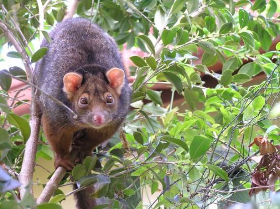 บริสเบน, ออสเตรเลีย: A possum was coming to feast on our Mango Tree..Brisbane, Australia