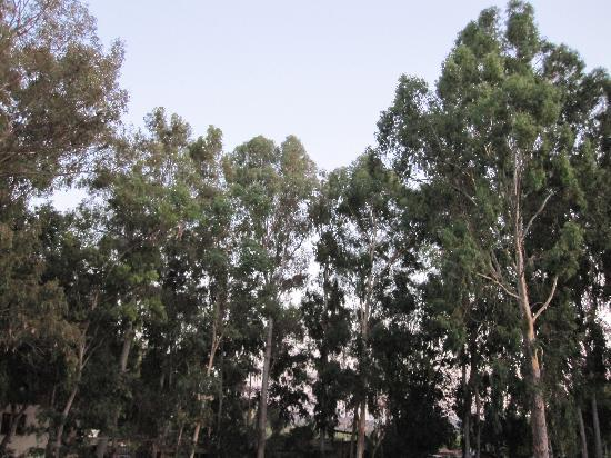 Eucalyptus Pension: eucalyptus trees backdrop to pension