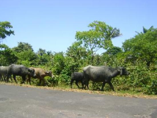 Amazon forest and buffalos at large