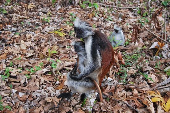 "Sunset Beach Resort Zanzibar: Scimmie rosse  a ""Jozani Forest"""