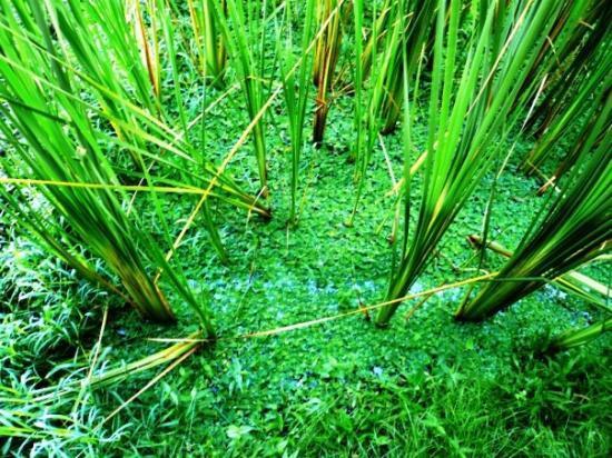 อูบุด, อินโดนีเซีย: rice from close-up