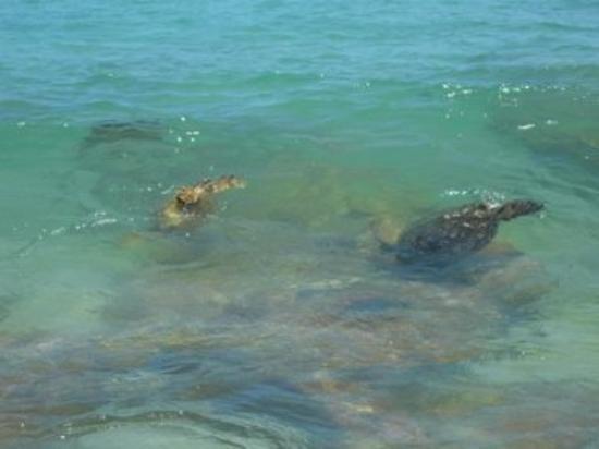 คาปา, ฮาวาย: See the turtles? Yea, they are quite common - and lovely...