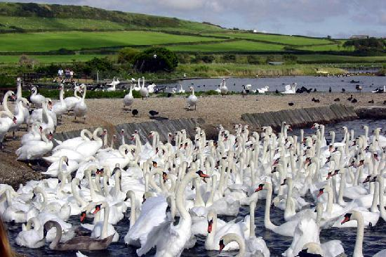 Abbotsbury Swannery: Swans ready for food