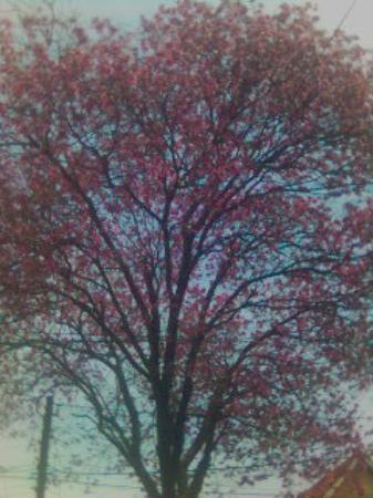 Vicente Lopez, อาร์เจนตินา: Jacarandá rosado-violáceo..amo a los árboles