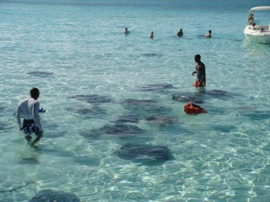 จอร์จทาวน์, เกาะแกรนด์เคย์แมน: Experience a once-in-a-lifetime adventure: snorkeling with stingrays at Stingray City Sandbar. T