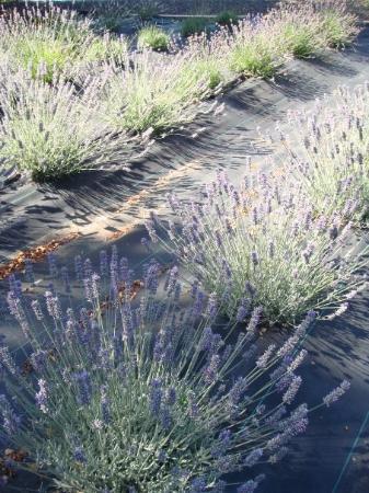 พอร์ตแลนด์, ออริกอน: Lavendar field.....
