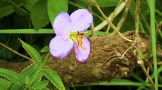 สะวันนา, จอร์เจีย: A random little wildflower, not trying to be noticed, but too noticeable to miss.