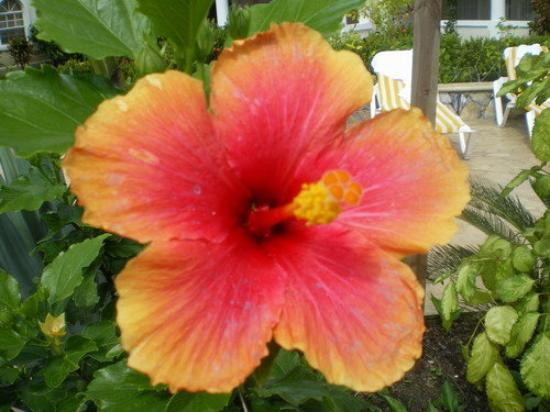 The Prettiest Flower On The Island Picture Of Roatan