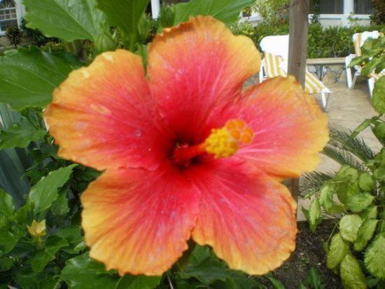 Roatan (เกาะโรอาทาน), ฮอนดูรัส: the prettiest flower on the island! =)