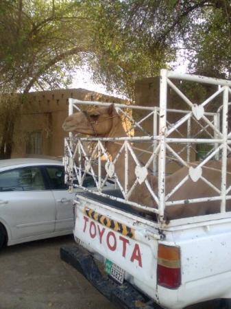Al Ain, สหรัฐอาหรับเอมิเรตส์: Camel In truck!