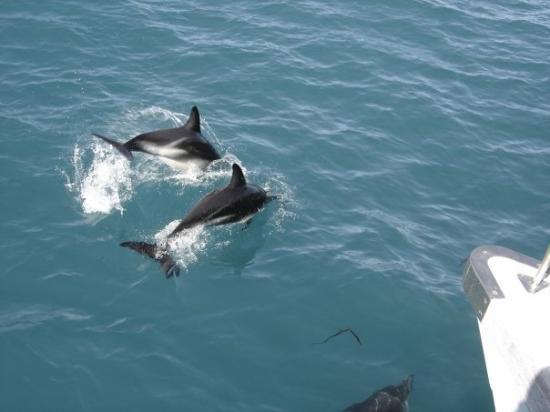 ไครสต์เชิร์ช, นิวซีแลนด์: Encounter with Dolphins, Kaikoura, NZ