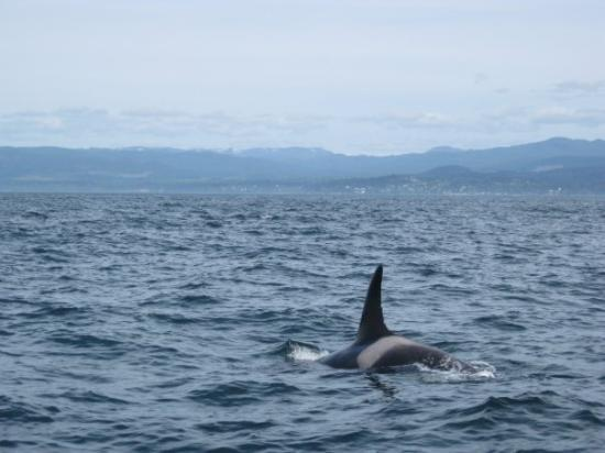 Prince of Whales Whale Watching: Southern Resident Killer Whale, J-5 I think?