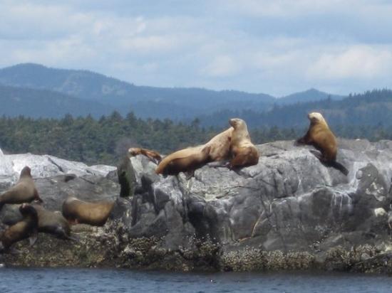 วิคตอเรีย, แคนาดา: Stellar and California Sea Lions @ Race Rocks