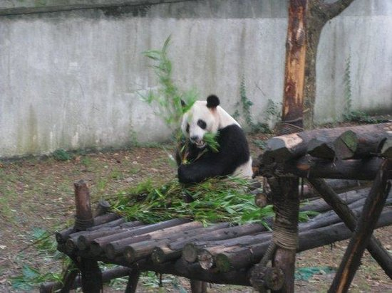 Giant Panda Breeding Research Base (Xiongmao Jidi): Panda ~