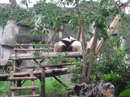 Giant Panda Breeding Research Base (Xiongmao Jidi): Love~~
