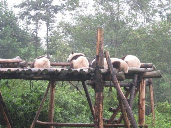 Giant Panda Breeding Research Base (Xiongmao Jidi): Pandas~