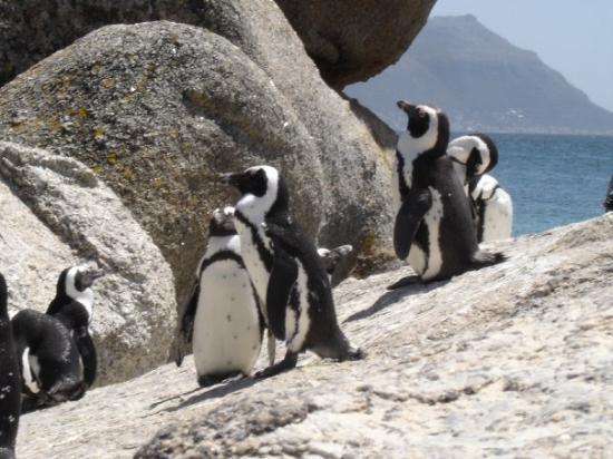 เฮอร์มานัส, แอฟริกาใต้: Boulders Beach South Africa