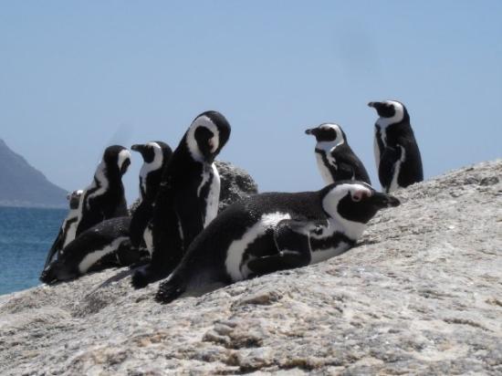 เฮอร์มานัส, แอฟริกาใต้: P..pick up a penguin
