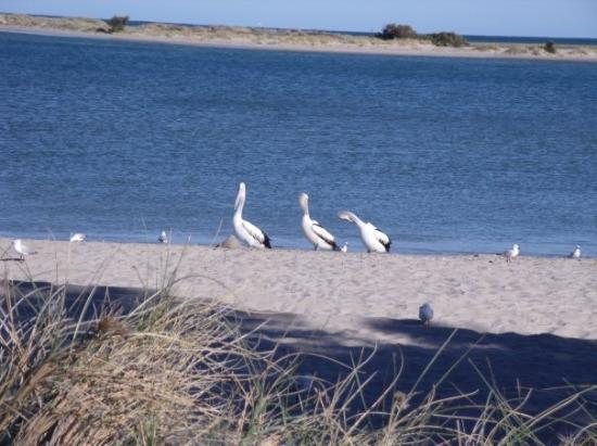 Kalbarri, ออสเตรเลีย: these pelicans come to the beach every morning to be feed