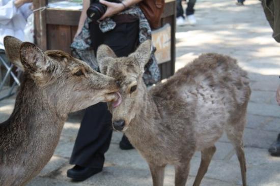 นะระ, ญี่ปุ่น: Deer sharing the love
