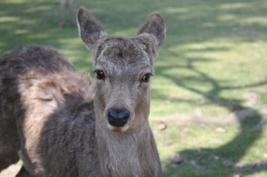 นะระ, ญี่ปุ่น: Deer looking me in the eye