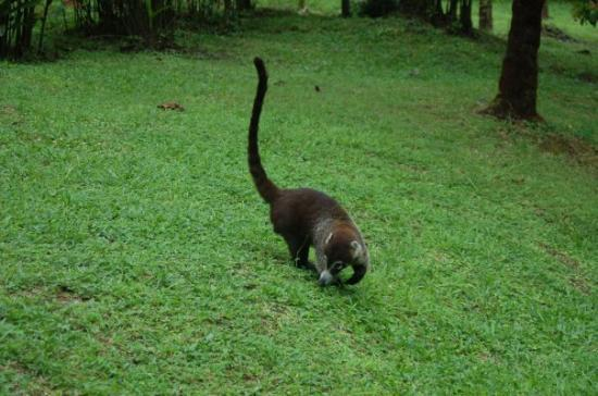 อุทยานแห่งชาติ Arenal Volcano National Park, คอสตาริกา: Our first wildlife sighting...a coatimundi. Very unconcerned by our presence.