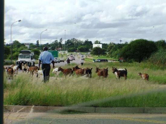 Gaborone, Botsuana: Our local BP goats