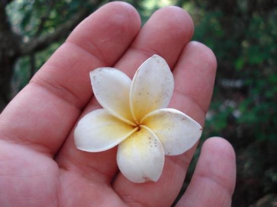 Mount Phousi: Champa flower, frangipane. Fiore simbolo del Laos