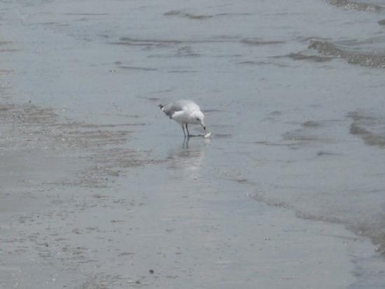 เกาะเจคิลล์, จอร์เจีย: A bird