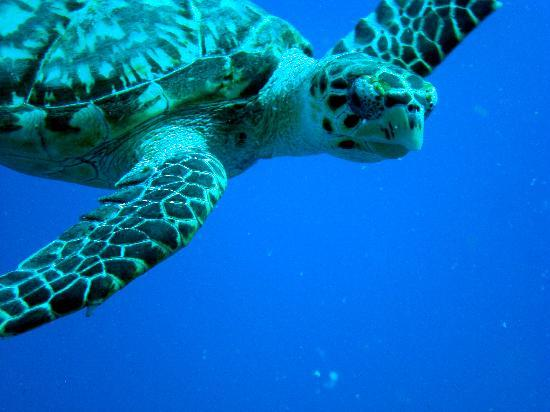 Occidental Cozumel: curious turtle