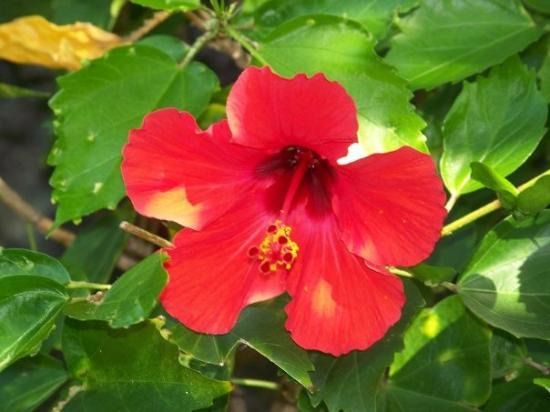 Lihue, ฮาวาย: typical Hawaiian hybiscus - but so pretty!