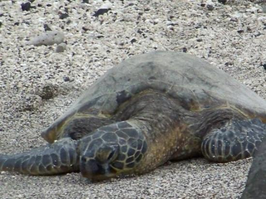 Lihue, ฮาวาย: Turtle on the beach at the Place of Refuge