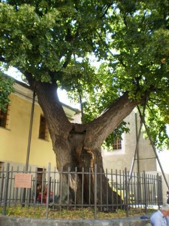 ออสตา, อิตาลี: albero del 1500 e che nel 1990 un fulmine sguarciò