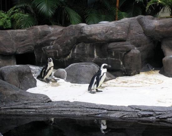 ฮิลตัน ฮาวายเอี่ยนวิลเลจ ไวกีกิ รีสอร์ท: Penguins in Hawaii!