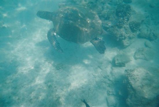 เมาอิ, ฮาวาย: Sea Turtle in Maui