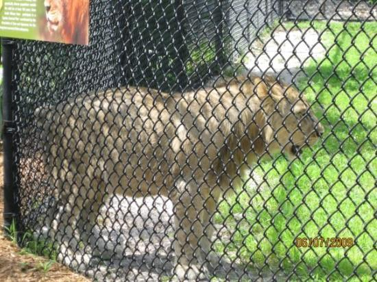 Naples Zoo at Caribbean Gardens: African lion pacing.