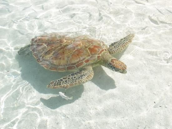 โมโอเรอา, เฟรนช์โปลินีเซีย: Sea turtle in Moorea