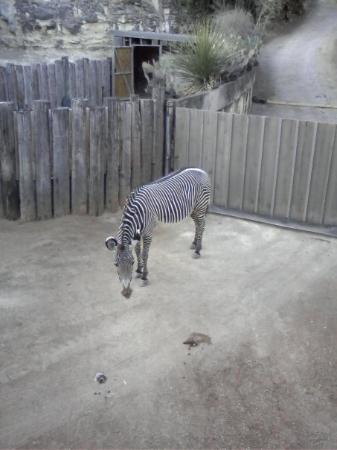 ซานอันโตนิโอ, เท็กซัส: A Zebra took it at our own SA Zoo..