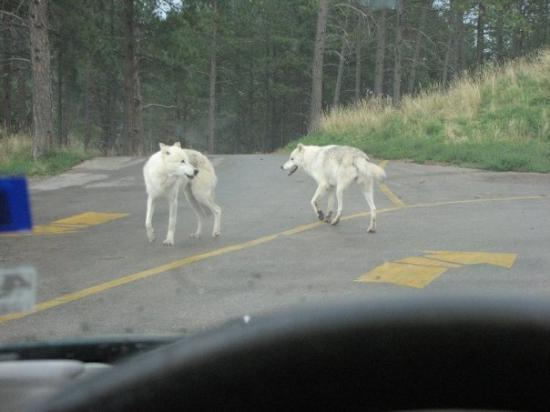 Bear Country USA: These two almost climbed the hood of my car!
