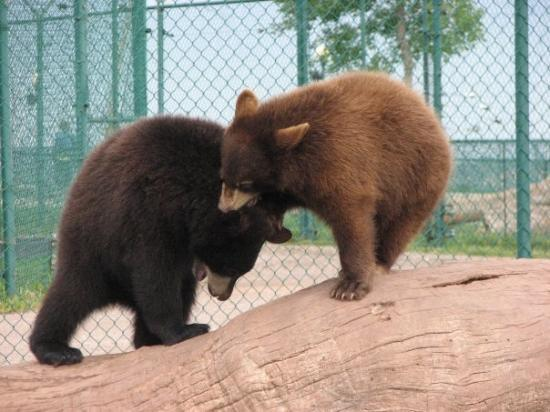 Bear Country USA: Fighting for that King of the Log title.