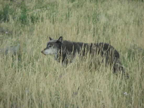 Bear Country USA: Beautiful shot of a wolf.