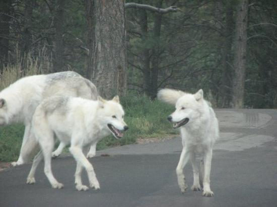 Bear Country USA: Arctic Wolves!