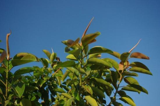 La Marina, สเปน: The top of a rubber tree.