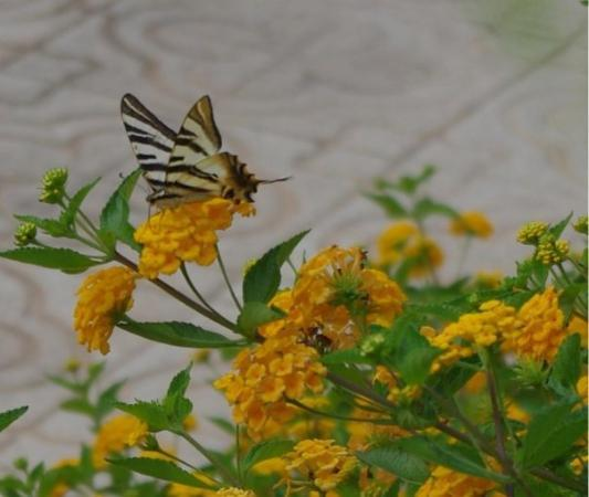 La Marina, สเปน: Oooh, an exotic butterfly!