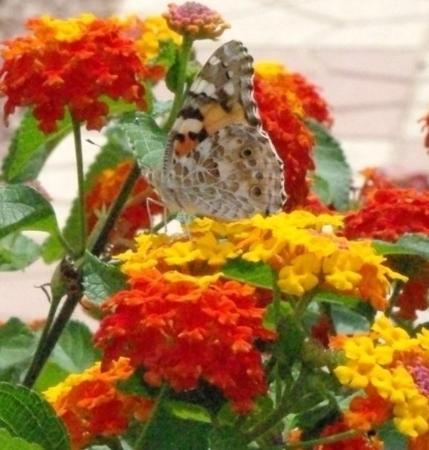 La Marina, สเปน: Oooh, a Painted Lady! There were about five of those in that clump of flowers.