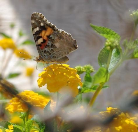 La Marina, España: Another Painted Lady. If only it was moths that rest with their wings down!  Look, it's drinki