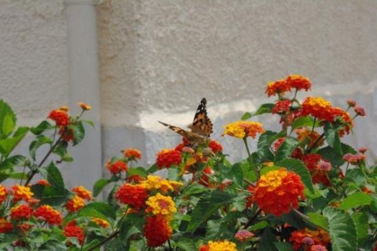 La Marina, España: More Painted Lady!