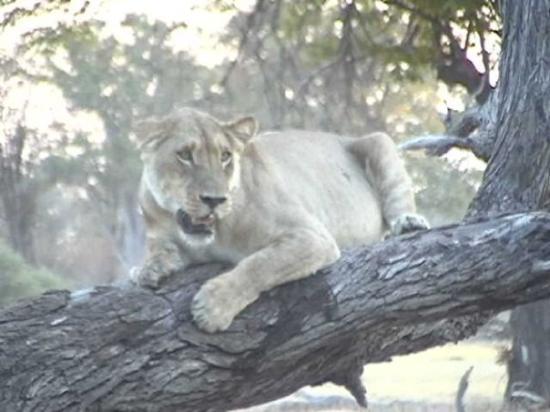 Chobe National Park, บอตสวานา: Illsint lejoninna førsvarar sitt byte.