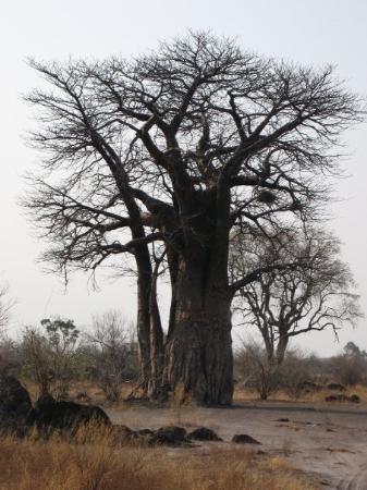 Chobe National Park, บอตสวานา: Namnet minns jag inte med dess träd kan bli 1500 år gamla.